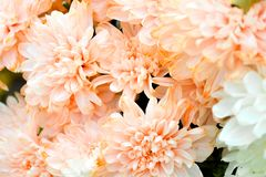 Bouquet of Salmon Color and White Chrysanthemum or Golden-Daisy. Close-Up royalty free stock images
