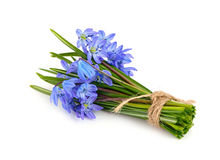 Bouquet from scilla. Royalty Free Stock Photos