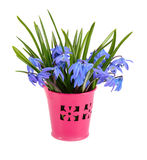 Bouquet from scilla in a small bucket. Stock Photos