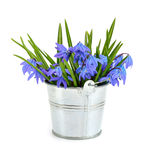 Bouquet from scilla in a small bucket. Royalty Free Stock Photography