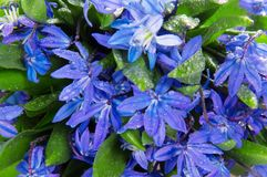 Bouquet scilla in water drops Stock Image