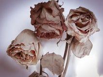 Bouquet sec des roses sur un fond blanc Photo libre de droits