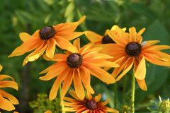 A bouquet of several bright colors rudbeckia hybrid Stock Photo