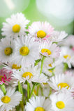 Bouquet of small delicate daisy Stock Photos