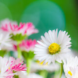 Bouquet of small delicate daisy, close-up Royalty Free Stock Photos