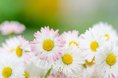 Bouquet of small delicate daisy, close-up Stock Photography