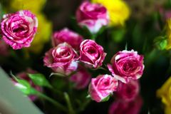 Bouquet of small pink roses in vintage style Royalty Free Stock Photos