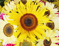 Bouquet of small sunflower Stock Photography