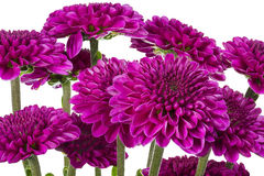 Bouquet of Smooth Leaf Asters Royalty Free Stock Photo