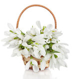 Bouquet of snowdrop flowers in basket  isolated on white backgro Royalty Free Stock Photos