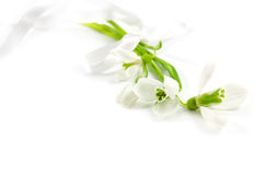 Bouquet of snowdrops Stock Photo