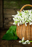 Bouquet of snowdrops in a wicker basket close up Stock Photo