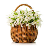 Bouquet of snowdrops in a wicker basket Royalty Free Stock Image