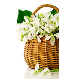 Bouquet of snowdrops in a wicker basket Stock Photo