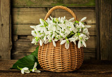 Bouquet of snowdrops in a wicker basket Royalty Free Stock Photography