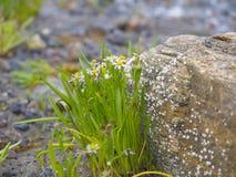 Bouquet sous tension des asters de mer. Images stock