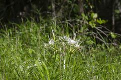Spider Lilies Growing In Field stock photo