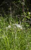 Spider Lilies Growing In Field royalty free stock photography