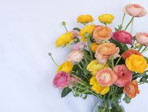 Bright Colorful Bouquet Ranunculus Flowers on White Background Royalty Free Stock Images