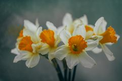 Bouquet of spring daffodils royalty free stock image