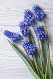 Bouquet of spring flowers muscari blue close up vertical Stock Photo