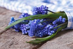 Bouquet of spring flowers muscari wrapped in blue cloth Stock Photos