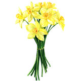 Bouquet of spring flowers narcissus isolated, watercolor illustration Royalty Free Stock Photography