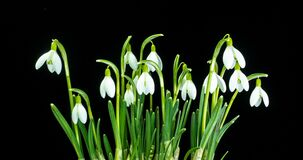 A bouquet of spring galanthus on a black background, spring snowdrops, time lapse