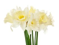 Bouquet of the spring narcissuses Royalty Free Stock Photography