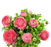 Bouquet of spring pink ranunculus Royalty Free Stock Photos