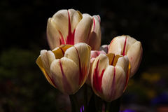 Bouquet of spring. Bouquet of tulip flowers. Photography of nature Royalty Free Stock Photos