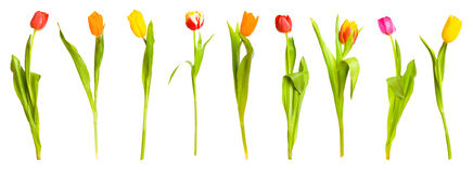Bouquet of spring tulips Royalty Free Stock Image