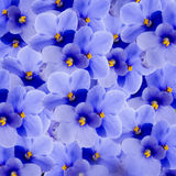 Bouquet of spring violets Royalty Free Stock Images