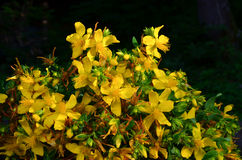 Bouquet of St. John's wort Stock Photos