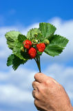 Bouquet of strawberries. The photo shows gifts of nature Stock Photo