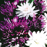 Bouquet of stylized violet and white  chrysanthemums Stock Photography