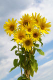 Bouquet sunflower. S on the blue sky Stock Photo