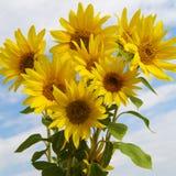 Bouquet sunflower Stock Photos