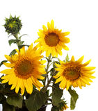 Bouquet of sunflower Stock Image