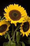 Bouquet of sunflowers on black Royalty Free Stock Photo