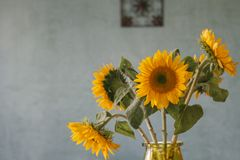 Bouquet of sunflowers with blue textured wall background. Photo taken indoors, of a bouquet of sunflowers, in glass vase, with a venetian plaster, textured wall Royalty Free Stock Photo