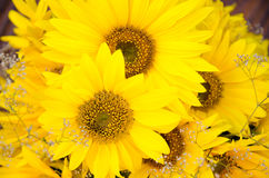 Bouquet of sunflowers closeup. Background Royalty Free Stock Photo