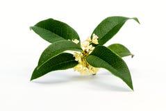 Sweet osmanthus flowers Royalty Free Stock Photos