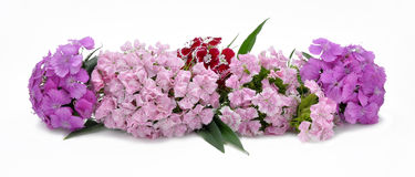 Bouquet from sweet-williams Stock Image
