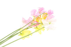 Bouquet of sweetpea. Pictured various color of sweetpea in a white background Stock Image