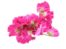 Bouquet of sweetpea Royalty Free Stock Images
