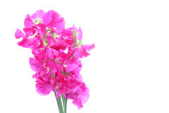 Bouquet of sweetpea. Pictured a bouquet of sweetpea  in a white background Stock Image