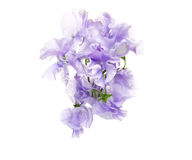 Bouquet of sweetpea Royalty Free Stock Photo