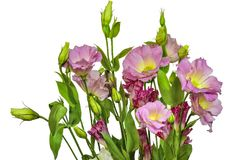 Bouquet of tender pink with yellow Eustoma Lisianthus flowers. On a white background isolated Royalty Free Stock Photo