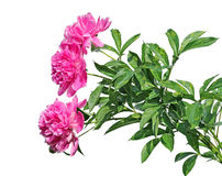 Bouquet of three beautiful pink peonies isolated Royalty Free Stock Photography